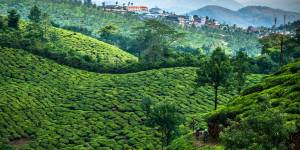 Mountain Bike through lush green tea plantations